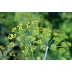 Õnnelik aed - Aedtill - 2430 seemned - Anethum graveolens L.