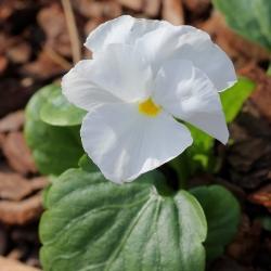 Võõrasema - Schweizer Riesen - valge - Viola x wittrockiana Schweizer Riesen - seemned