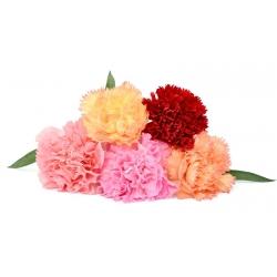 Common pink - double-flowered varieties' mix; garden pink, wild pink - 162 seeds