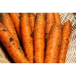 "Carrot ""Nantaise 2"" - medium early - 3825 seeds"