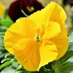 Võõrasema - Schweizer Riesen - kollane  - Viola x wittrockiana Schweizer Riesen - seemned
