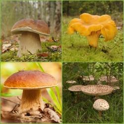 ست قارچ بلوط و راش + قارچ چوبی - 4 گونه - میسلیوم ، تخم ریزی -