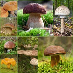 ست قارچ درخت مخروطی + قارچ چوبی - 7 گونه - میسلیوم ، تخم ریزی -