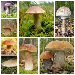ست قارچ درخت برگ ریز + قارچ چتراب - 7 گونه - میسلیوم ، تخم ریزی -