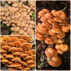 Honey fungi & co - 3 mushroom species - spawn plugs, mycelium plugs