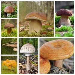 ست قارچ کاج + قارچ چوبی - 7 گونه - میسلیوم ، تخم ریزی -
