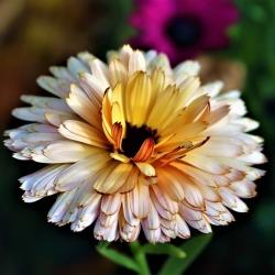 Harilik saialill - Sunset Buff - Calendula officinalis - seemned