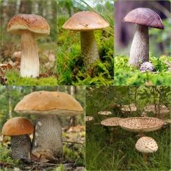 ست قارچ درخت توس + قارچ چوبی - 5 گونه - میسلیوم ، تخم ریزی -