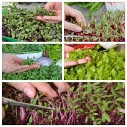 Microgreens - Decorazione - garnishing addition to dishes - 5-piece set with a growing container