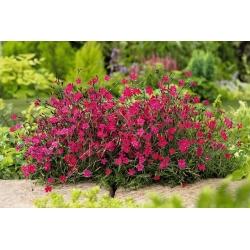 Maiden pink - carmine-red - 1350 seeds