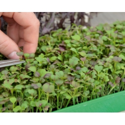 Microgreens - Green power - source of health and vital forces for your home - 27-piece set with a growing container