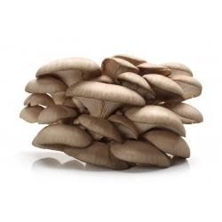 Gyöngy laskagomba, fa laskagomba - Nagy csomag - 100 db - micéliumos ívdugó -
