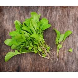Baby Leaf - Põld-võõrkapsas - Eruca vesicaria - seemned