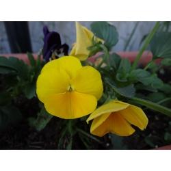 Võõrasema - Luna - 288 seemned - Viola wittrockiana