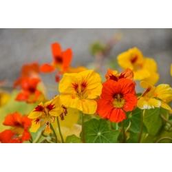 "Happy Garden - ""Colourful Garden Nasturtium"" - Seeds that children can grow! - 24 seeds"