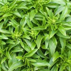 "Basil ""Palla Compatto"" - 293 seeds"