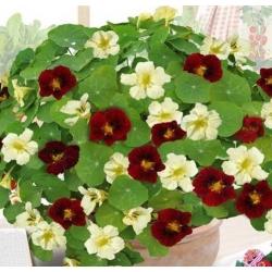 "Nasturtium ""Night&Day"" - low-growing variety"