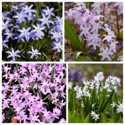Glory–of–the–snow – Chionodoxa – Selection of 4 varieties – 80 pcs