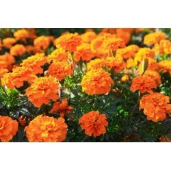 Tagetes patula nana - Tangerine - 315 seemned - oranž