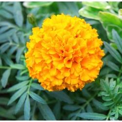 Kõrge peiulill - Mary Helen - 270 seemned - Tagetes erecta