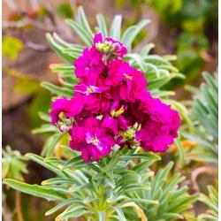 """Hoary stock """"Varsovia Kama"""" - carmine-pink; gilly flower"""