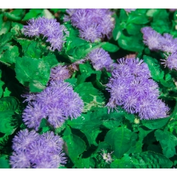 "Flossflower ""Tetra Blue Mink"" - purple; bluemink, blueweed, pussy foot, Mexican paintbrush - 2025 seeds"