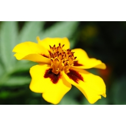 Madal peiulill - Beata - honey-carmine - Tagetes patula - seemned
