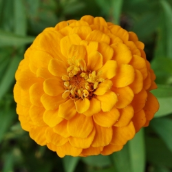 "Dahlia-flowered zinnia ""Kirke"" - yellow"