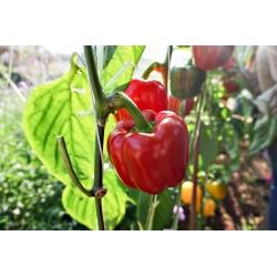"""Pepper """"Yolo Wonder"""" - sweet, red variety - 72 seeds"""