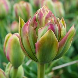 Tulipa Boa Vista - paquete de 5 piezas