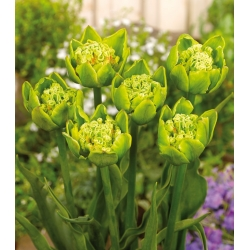 Tulipa Green Bizarre - paquete de 5 piezas