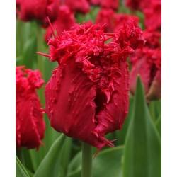 Тюльпан Barbados - пакет из 5 штук - Tulipa Barbados