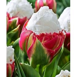 Tulip Ice Cream – rare, peony–shaped flowers – 5 pcs