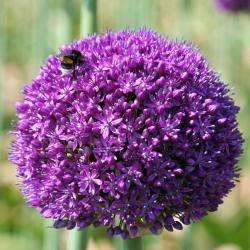 Dekoratív fokhagyma - Ambassador - Allium Ambassador