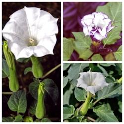 Devil's trumpet - seeds of 3 varieties