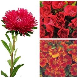 Crimson Poetry - biji 3 varietas -