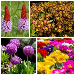 Primrose - seeds of 4 varieties
