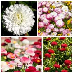 Daisy, nữ hoàng của đồng cỏ châu Âu - hạt giống của 4 loài thực vật có hoa -