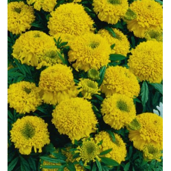 """Pot marigold """"Cupido"""" - low-growing, double-flowered, yellow variety"""