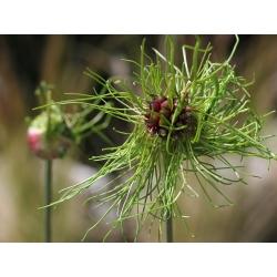 Bawang putih liar Rambut - bunga kabur - pek besar! - 50 pcs; rumput bawang, bawang putih gagak, bawang putih rusa -