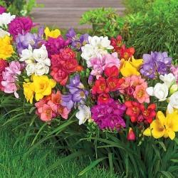 Dubultu ziedu frēzija - krāsu izvēle - liels iepakojums! - 100 gab -