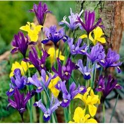 Iris botani - pemilihan warna - paket besar! - 100 pcs -