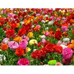 Ranunculus - انتخاب رنگ - بسته بزرگ! - 100 عدد؛ اسلحه های کره ای، کوتوله های آب -
