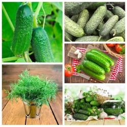 Pickling cucumbers - varieties ideal for pickling + garden dill