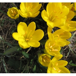 Sternbergia – winter daffodil – large pack! – 20 pcs; autumn daffodil, fall daffodil, lily–of–the–field, yellow autumn crocus
