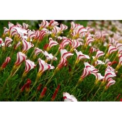 Candy cane sorrel Oxalis versicolor - liels iepakojums! - 20 gab -
