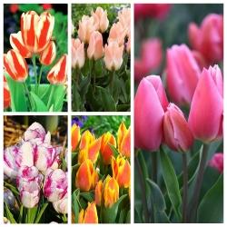 Tulip besar berbunga - varietas paling menarik - 50 pcs -
