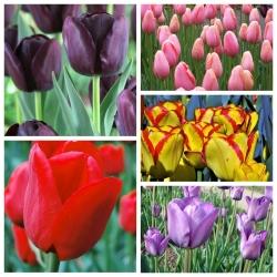Tulip bunga yang lewat - Pemilihan pelbagai berwarna-warni - 50 pcs -