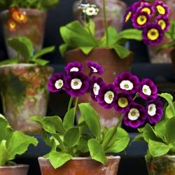 Primrose vegyes mag - Primula x pubescens - 110 mag - magok