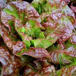 Aedsalat - Peasalat - Carmina - Lactuca sativa L. var. Capitata - seemned